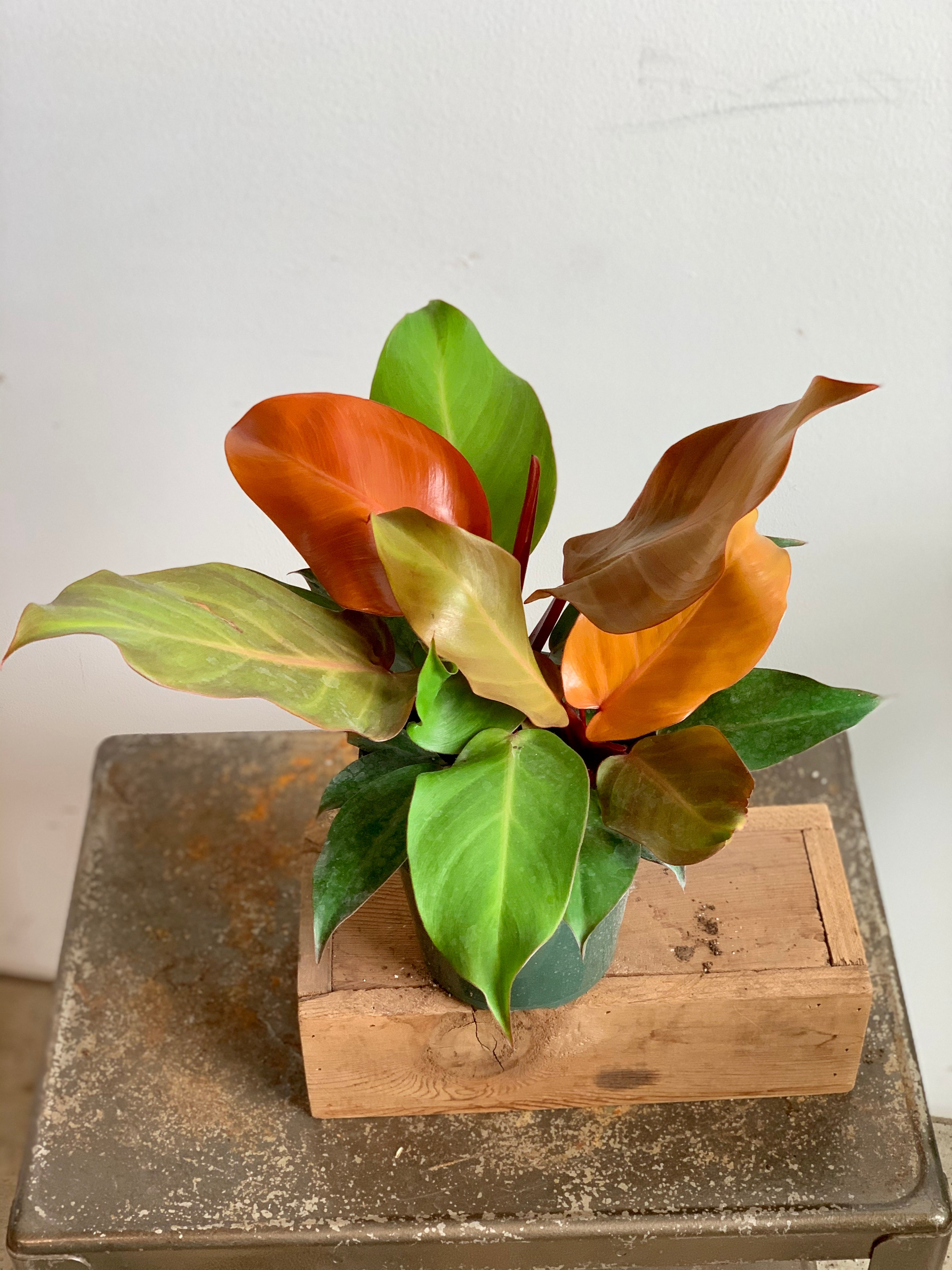 Prince of Orange Philodendron
