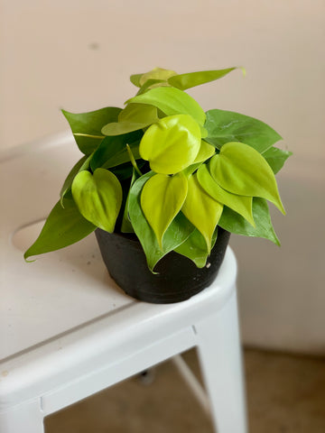 Philodendron - Lemon