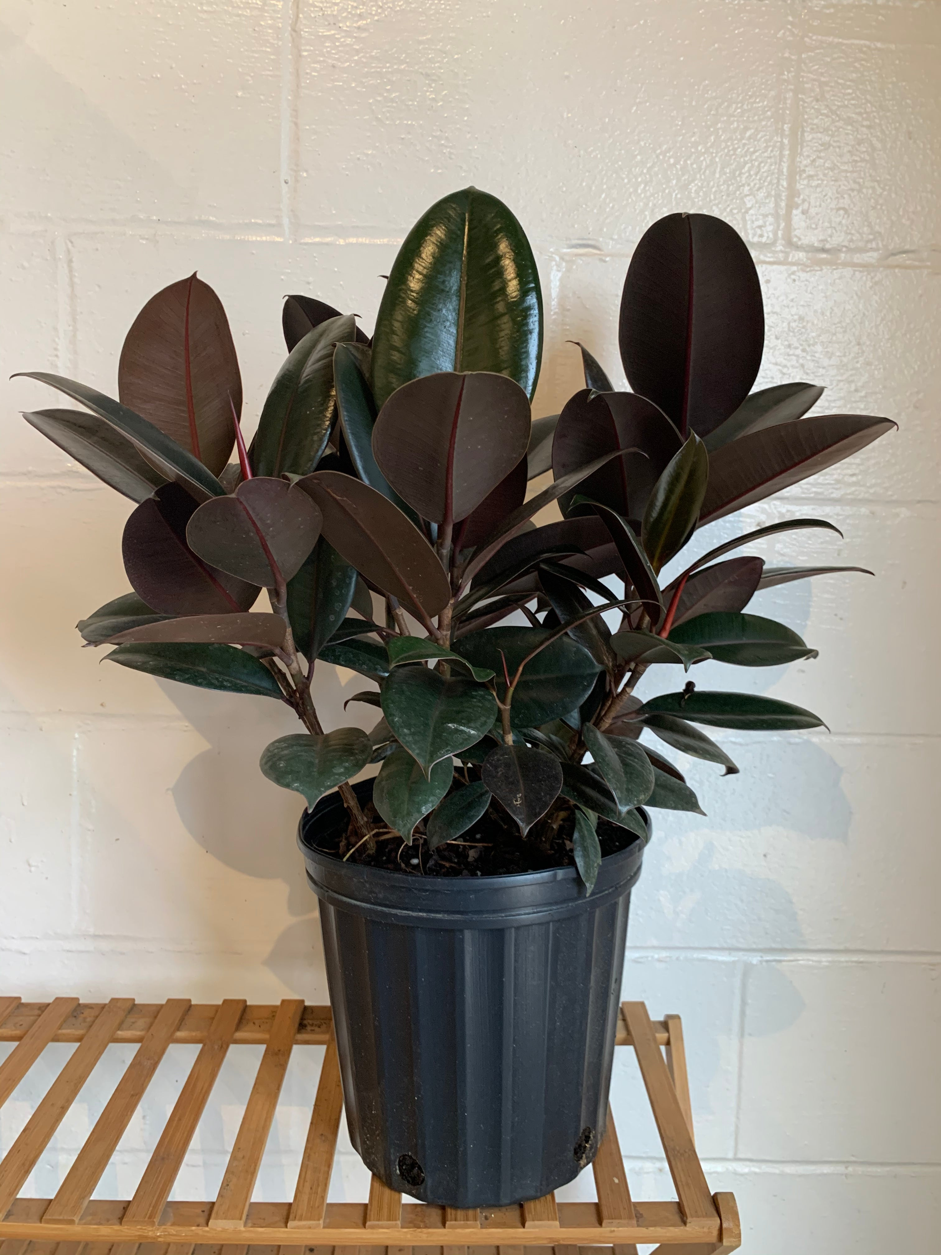 Rubber Tree (Ficus Elastica)
