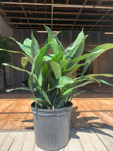 Cast Iron Plant (Pet Friendly)