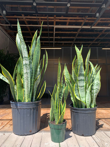 Sansevieria - Laurentii (Low Light)