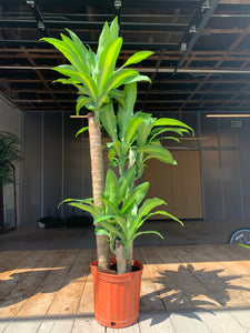 Dracaena - Massangeana Cane (Low Light)
