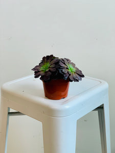 Aeonium - Black Rose