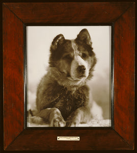 "Herbert G. Ponting:""Vida"", one of the best of the dogs used ,16x12""(A3)Poster"