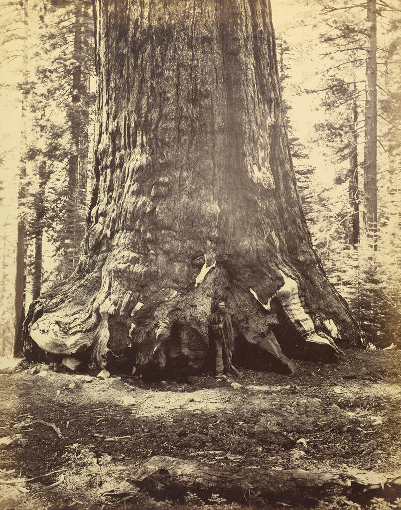 Carleton Watkins:[Section of the Grizzly Giant],16x12