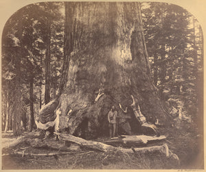 "Carleton Watkins:[Section Grizzly Giant, Mariposa Grove],16x12""(A3)Poster"