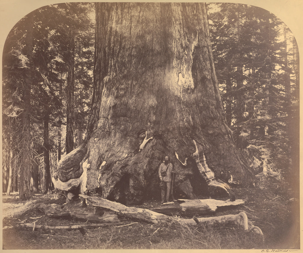 Carleton Watkins:[Section Grizzly Giant, Mariposa Grove],16x12