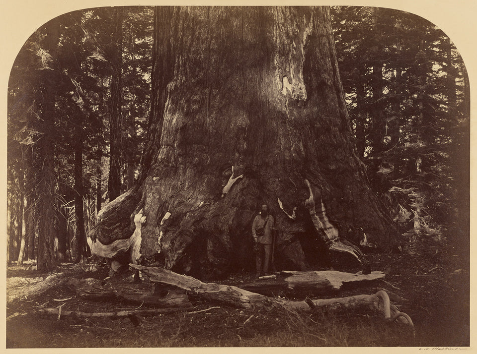 "Carleton Watkins:Section of the Grizzly Giant, Mariposa Grov,16x12""(A3)Poster"