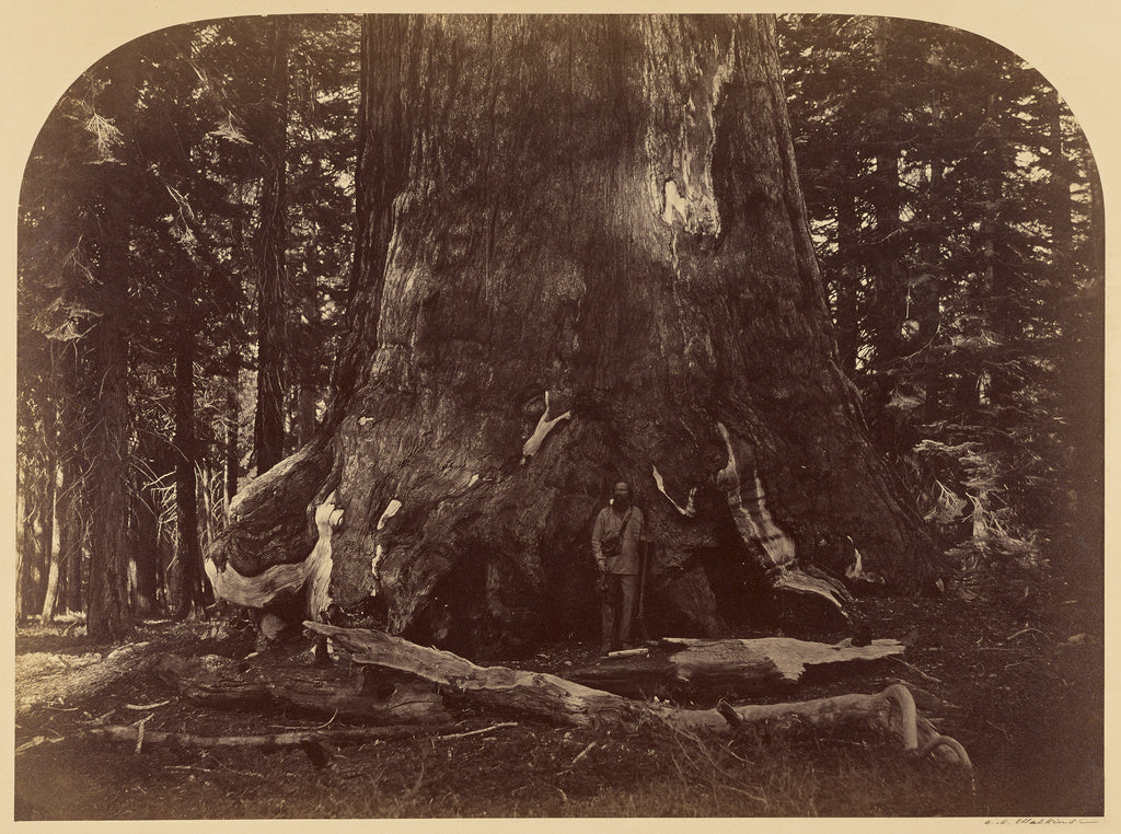 Carleton Watkins:Section of the Grizzly Giant, Mariposa Grov,16x12