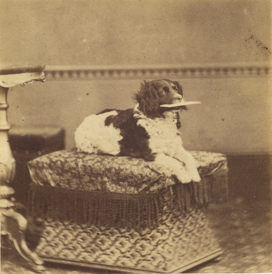"Unknown:[Sitting Dog with a Bundle in its Mouth],16x12""(A3)Poster"