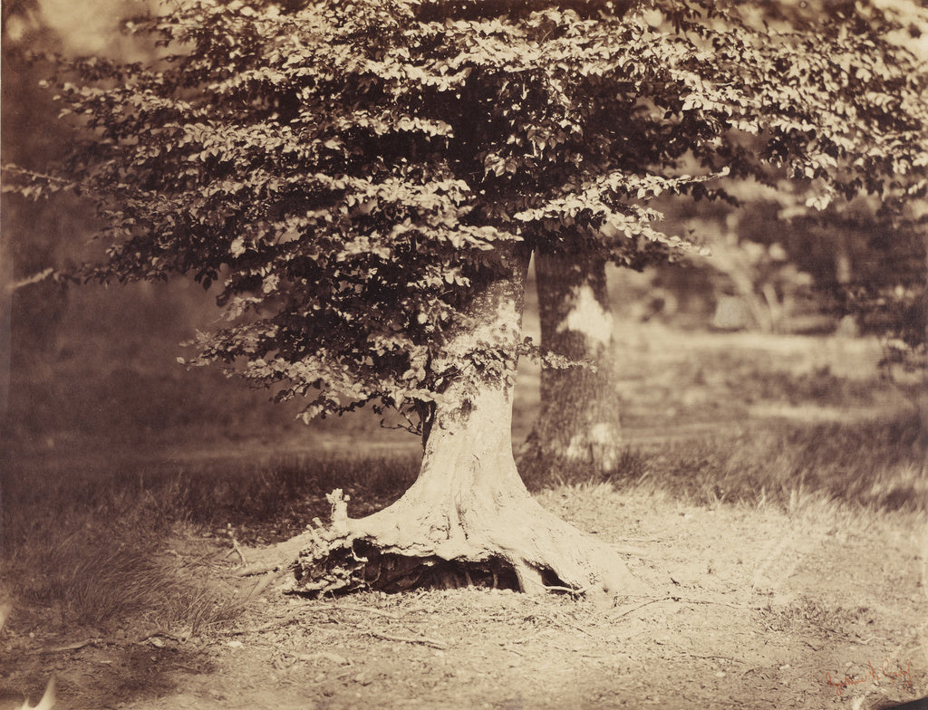 Gustave Le Gray:[The Beech Tree],16x12