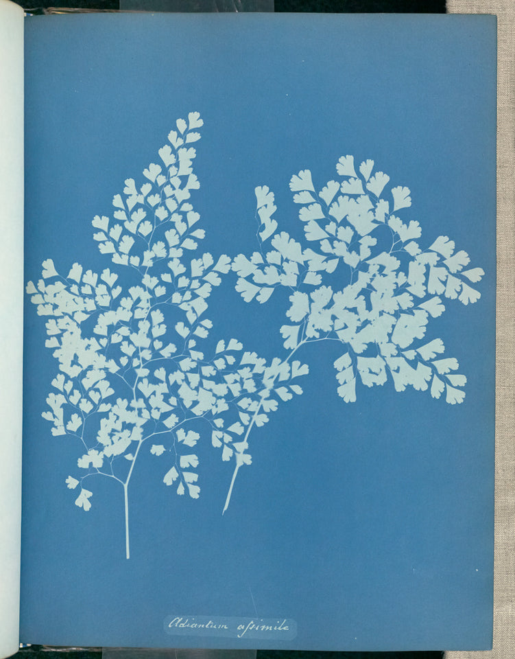 "Anna Atkins:Adiantum assimile,16x12""(A3)Poster"
