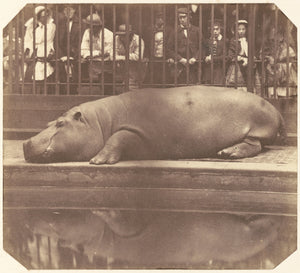 "Count de Montizon:The Hippopotamus at the Zoological Gardens,16x12""(A3)Poster"
