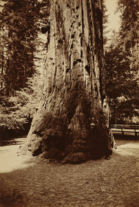 "Carleton Watkins:[Big Tree Felton (Redwood), Santa Cruz],16x12""(A3)Poster"