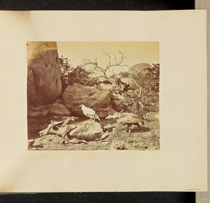 "Willoughby Wallace Hooper:[Vultures on Carcass],16x12""(A3)Poster"