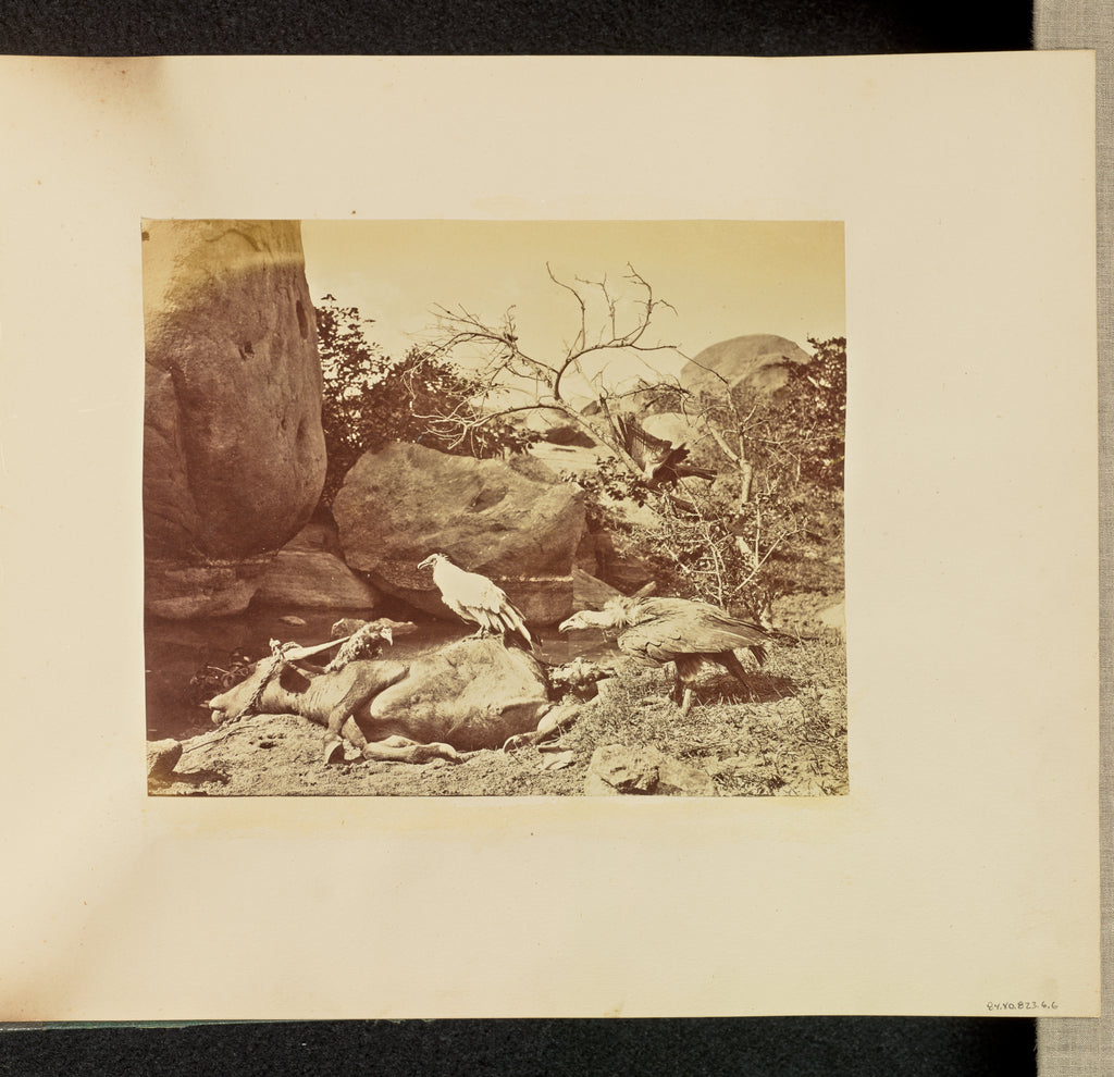 Willoughby Wallace Hooper:[Vultures on Carcass],16x12