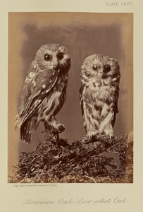 "William Notman:Acadian Owl; Saw-whet Owl,16x12""(A3)Poster"