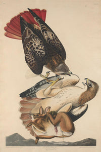 "Robert Havell after John James Audubon:Red Tailed Hawk,16x12""(A3) Poster"