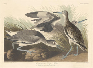 "Robert Havell after John James Audubon:Semi-palmated Snipe o,16x12""(A3) Poster"