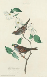 "William Home Lizars after John James Audubon:White-throated ,16x12""(A3) Poster"