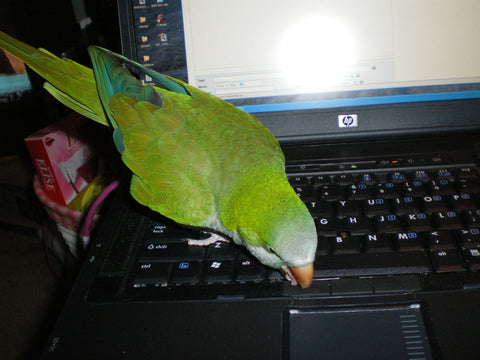 Green Parrot on Computer