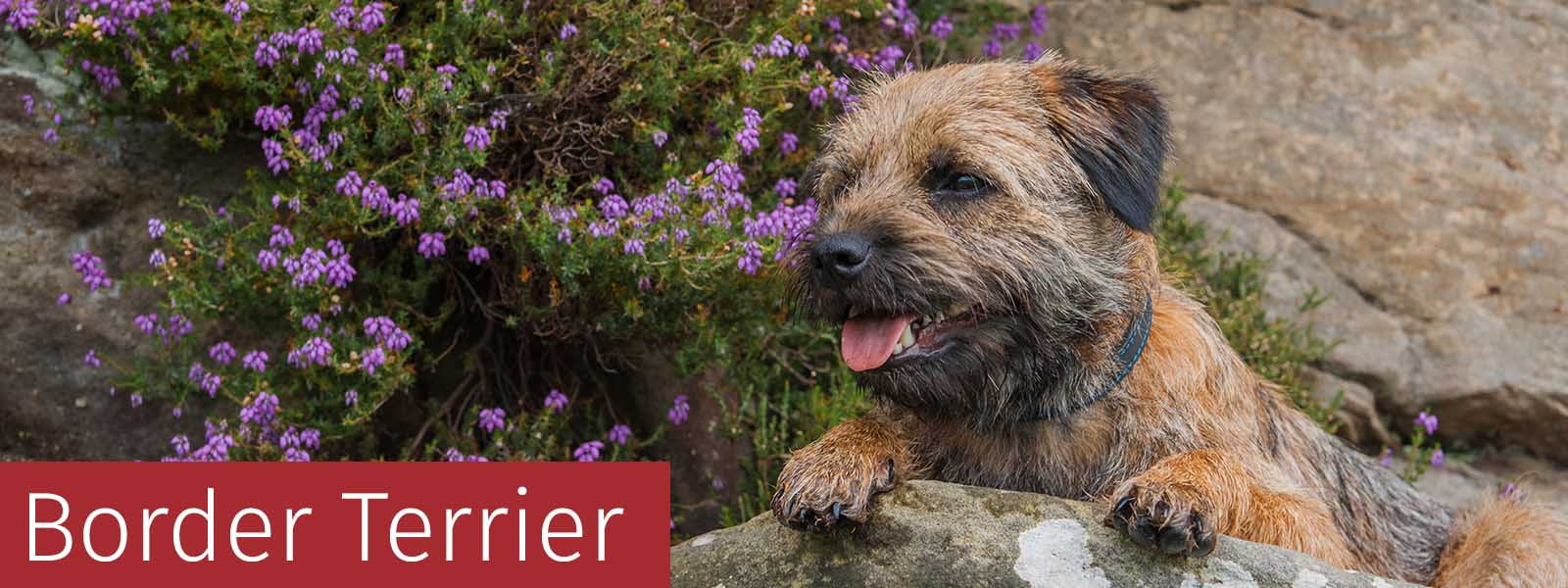Border Terrier Gifts
