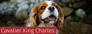 Cavalier King Charles Gifts