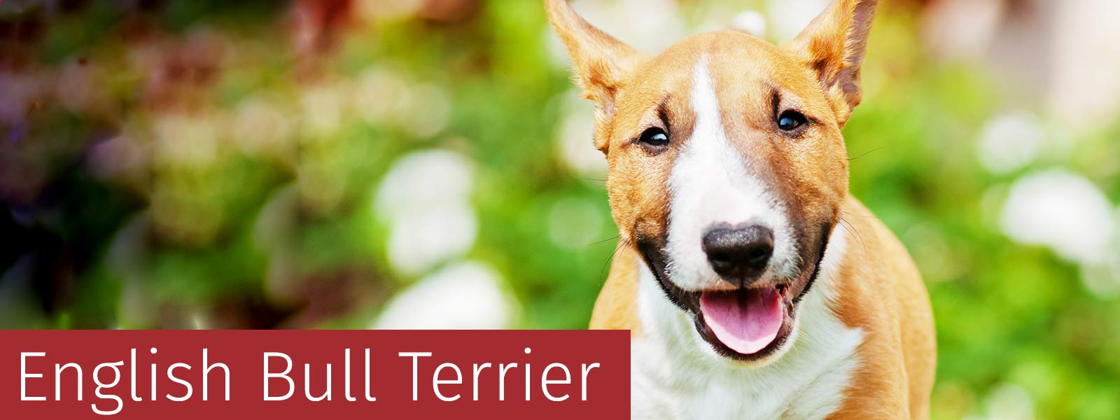English Bull Terrier Gifts