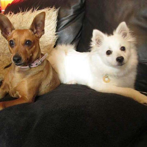 Dog Krazy Gifts - Honey and Faith The Japanese Spitz