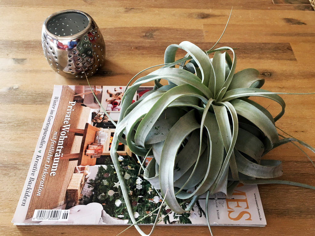 Table book az asztalon Air Plant Tillandsia-val