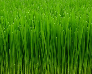"Heirloom Hard Red ""Sweet"" Wheat Grass"