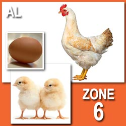AmberLink (Pullets)