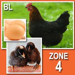 Black Sex Link (Pullets)