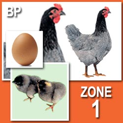 Blue Sapphire Plymouth Rock (Pullets)