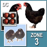 Dominant Copper (Pullets)