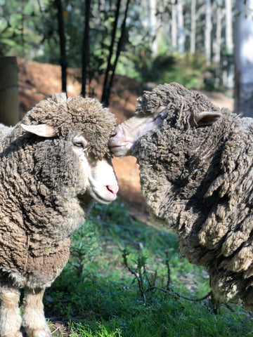 Two sheep nuzzling.