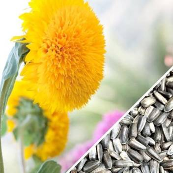 sunflower sungold seeds