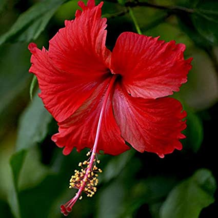 hibiscus regular