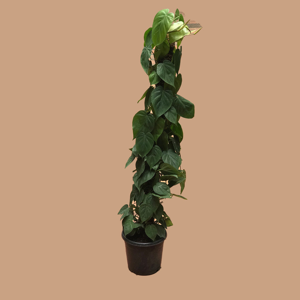 moss stick philodendron