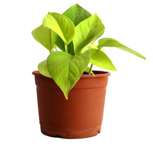 Golden Pothos / golden money plant