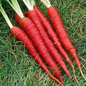 red long carrot seeds