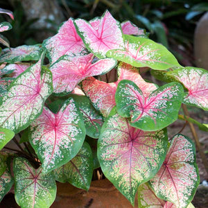 caladium / hearts of jesus / angel wings