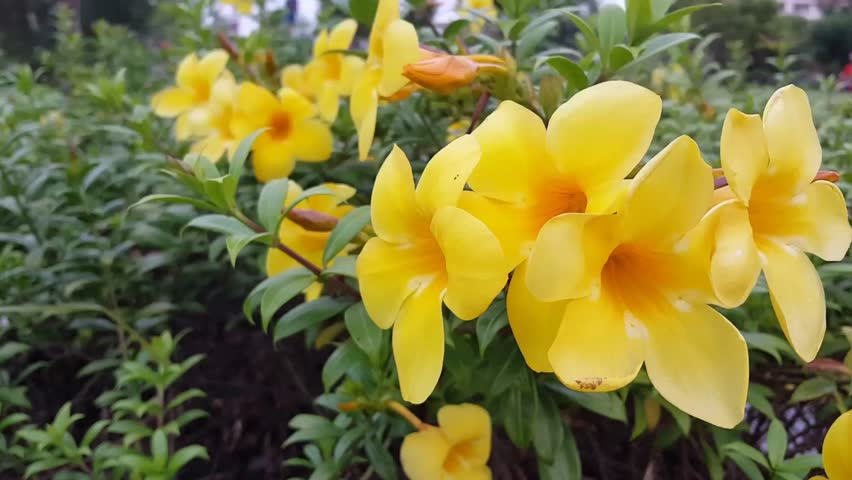 Allamanda creeper