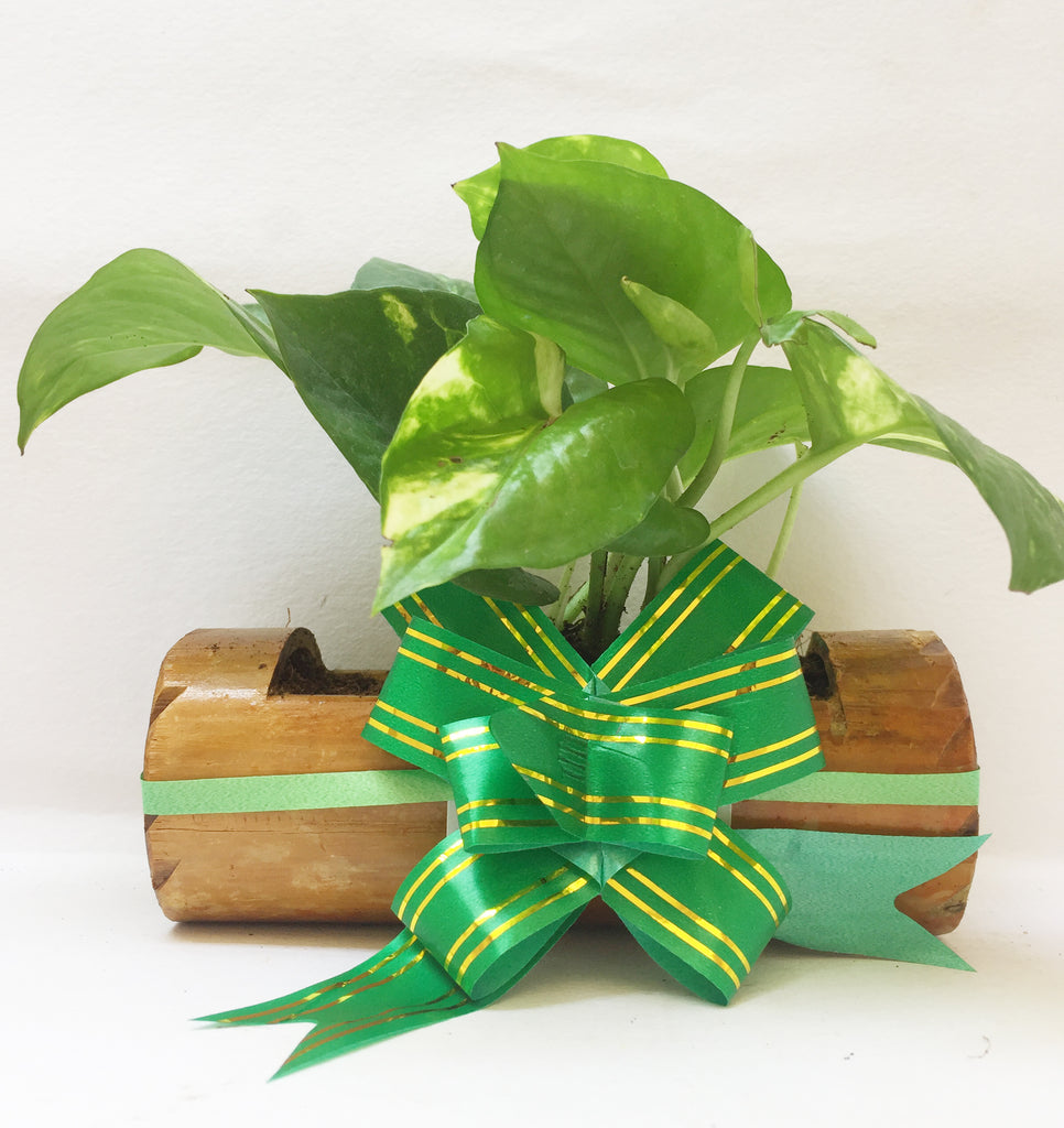 MONEY PLANT IN BAMBOO PLANTER