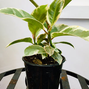 Ficus Rubber . S (variegated)
