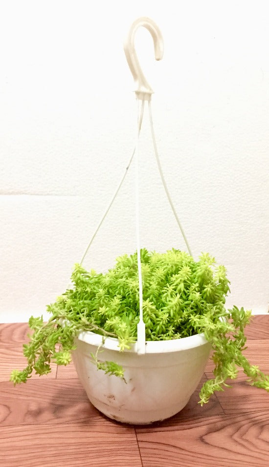 Sedum Angelina (Gold) hanging