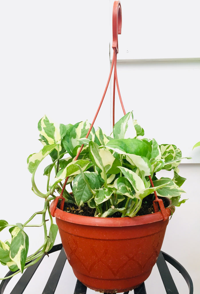 Enjoy Money Plant