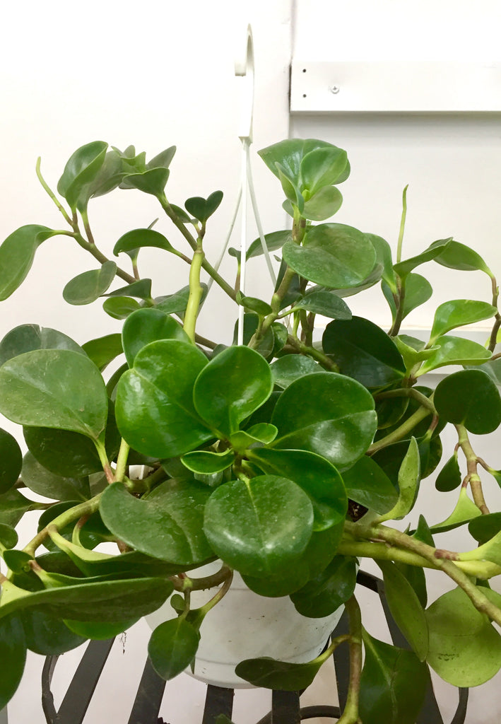 Peperomia HANGING PLANT