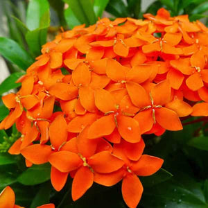 ixora regular