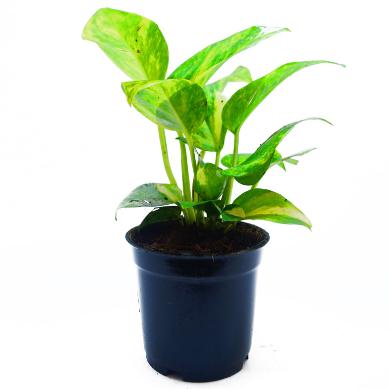 MONEY PLANT - GREEN